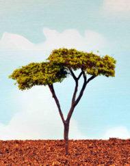 acacia (1003
